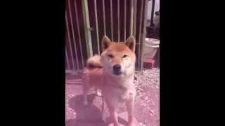 なぜか吠えることが彼の幸せ。 To bark makes him happy some reason.