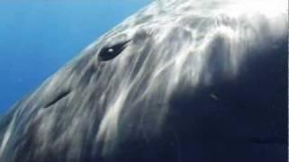 うわ、でかっ!巨大なマッコウクジラと海の中でご挨拶