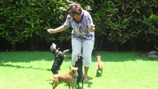 Miniature  Pinscher 6 Male Dogs  Playing With Chepita.