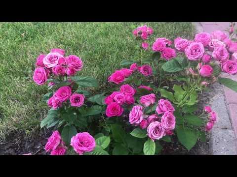 Розы ЦВЕТУЩИЕ ВСЁ ЛЕТО. Чудесное спреевое цветение. Питомник Роз ЕЛЕНЫ ИВАЩЕНКО