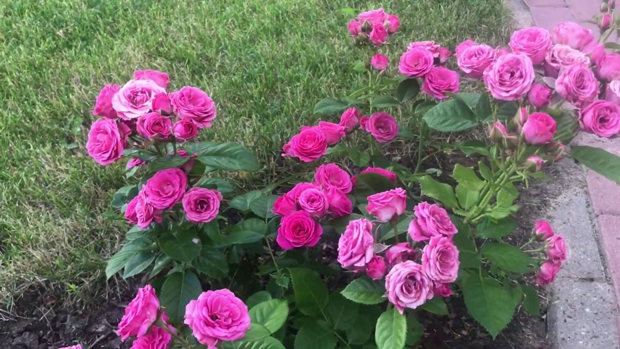 Подарков цветов, питомник елены иващенко каталог роз с фото и ценами как заказать