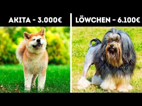 teuerster hund der welt