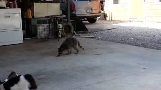 Енот ворует еду у котов