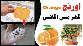 How to Grow Orange From Seeds Complete Step by Step Guide Urdu Hindi kitchen garden