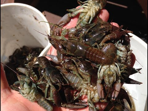 Crayfish Catch And Cook: A Family Tradition