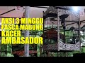 Siap Di Mahar Aksi Kacer Ambasador Pasca Mabung  Minggu  Mp3 - Mp4 Download