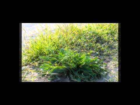 Sentina processo completo piantumazione crescita e fioritura di una pianta di Limonium