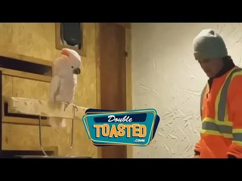 PEBBLE THE ANGRY BIRD – Double Toasted Highlight