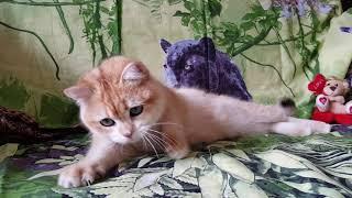 Британский котенок золотая шиншилла