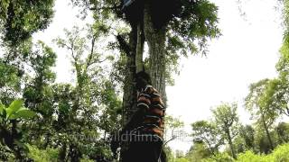 Indian tribal man climbing up to his tree house