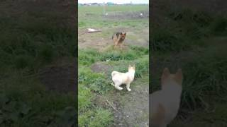 Лайка против Овчарка