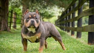American Bully Kennel | American Bully Puppy | Soul Train X Platinum Money