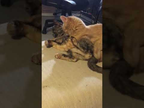 Cleo & Bean CUTEST KITTENS Grooming or Battle? You Decide