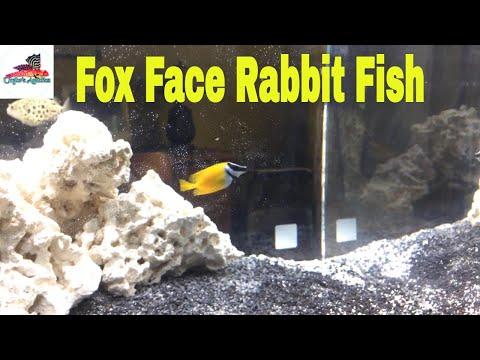 Foxface Rabbit Fish Profile