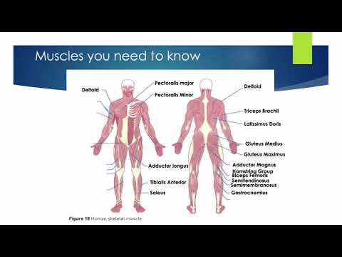 A-Level PE Agonists, Antagonists & Types of Muscle Contractions