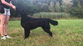 Flat Coated Retriever Miracles Happen Oasis of Peace