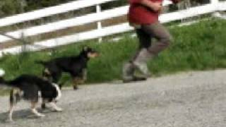 Cyril has a new huntaway pup called Rock and he has him dragging a ...