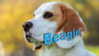 Beagle Dog Breed info.  How to Choose Dogs
