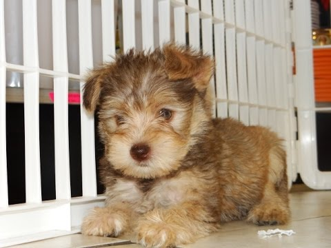 Scottish Terrier Puppies For Sale In Jacksonville