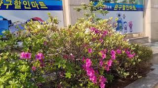 스타완구점 철쭉꽃 사과꽃 블루베리꽃 피었습니다
