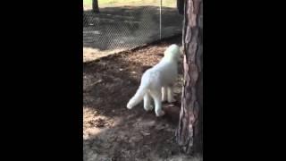 Video of adoptable pet named Snowman in Texarkana Texas