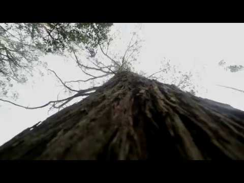 WIND IN TREES Ambience Library
