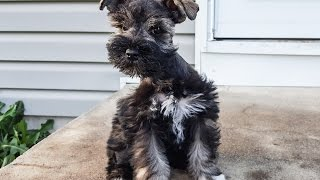 Ruby the Miniature Schnauzer Puppy in Training