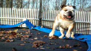 Bulldog On Trampoline 3