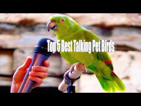 Top 5 Best Talking Pet Birds In The World    With Details