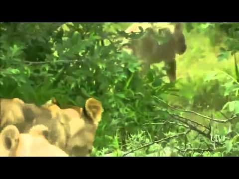 Wild White Lions of South Africa PBS Nature & Animals Documentary sa prevodom