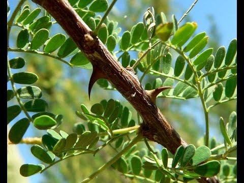 plantas curativas - Acacia