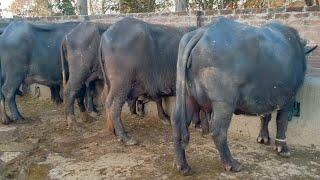Baba dairy farming in Punjab||Dairy farming in Pakistan