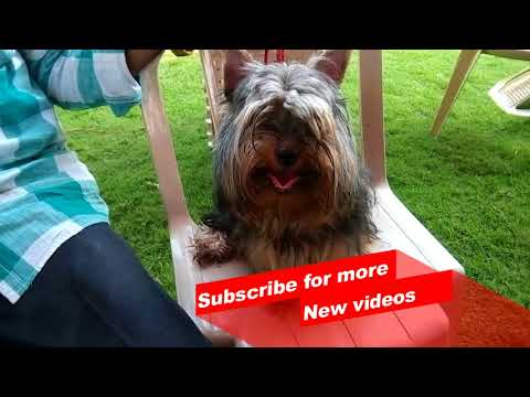 Wow ! Most Amazing dog breeds worldwide   Yorkshire Terrie   Saluki   Spitz  