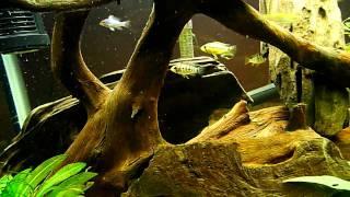 my 29 gallon dwarf cichlid fish tank aquarium hd lumix lx3