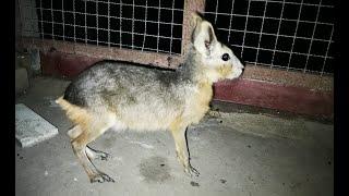 Animal rarisimo - Es un conejo? Un canguro?