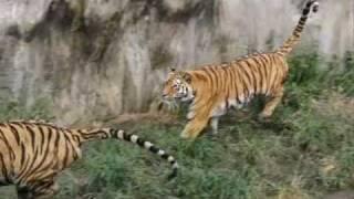 天王寺動物園のアムールトラ、メスのアヤコ センイチを追いかけて走るの...