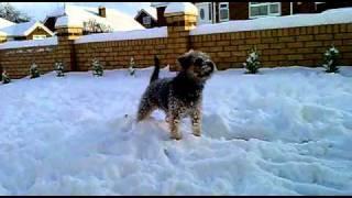 Elmo The Border Terrier Hooligan