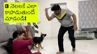 German Shepherd Puppy Rocky Protecting Family ll in Telugu ll