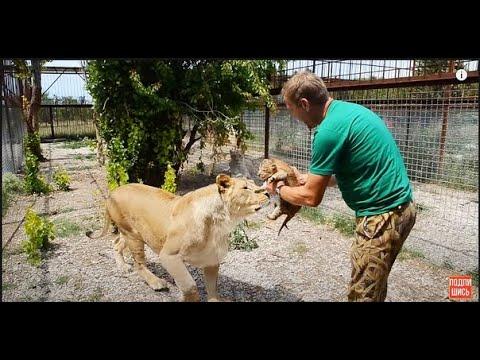 Как рожает львица видео
