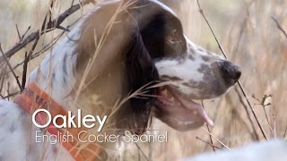 Pond Plantation  Oakley: an English Cocker Spaniel bird dog