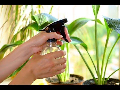 Вопрос: Можно ли опрыскивать водой листья традесканции?