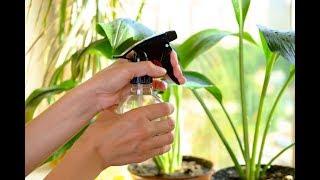 видео Правила ухода за лимоном в домашних условиях, особенности подкормки и пересадки, советы садоводов