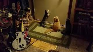 Kitten play automatic lazer dot