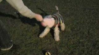 Fox Terrier Rescue Uk - Paddy Dance