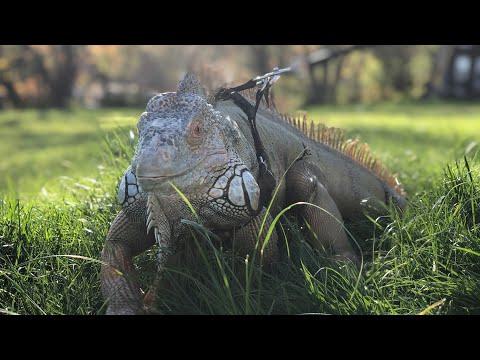 DYI Iguana Cage for a adult iguana