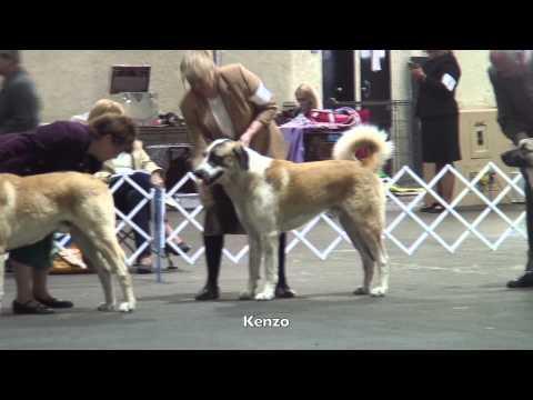 Silver Bay Kennel Club Dog Show   Anatolians 2 22 15