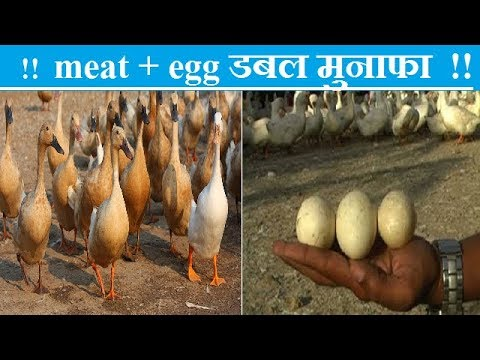 duck points in hindi