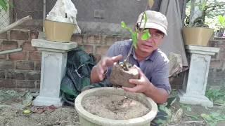 Tạo dáng ban đầu cho cây mai con