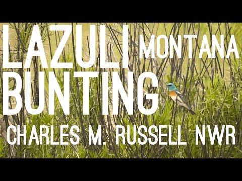 Lazuli Bunting (Passerina amoena), Charles M. Russell National Wildlife Refuge, Montana, USA