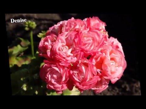 Пеларгония - красивый и гордый цветок Фото +названия